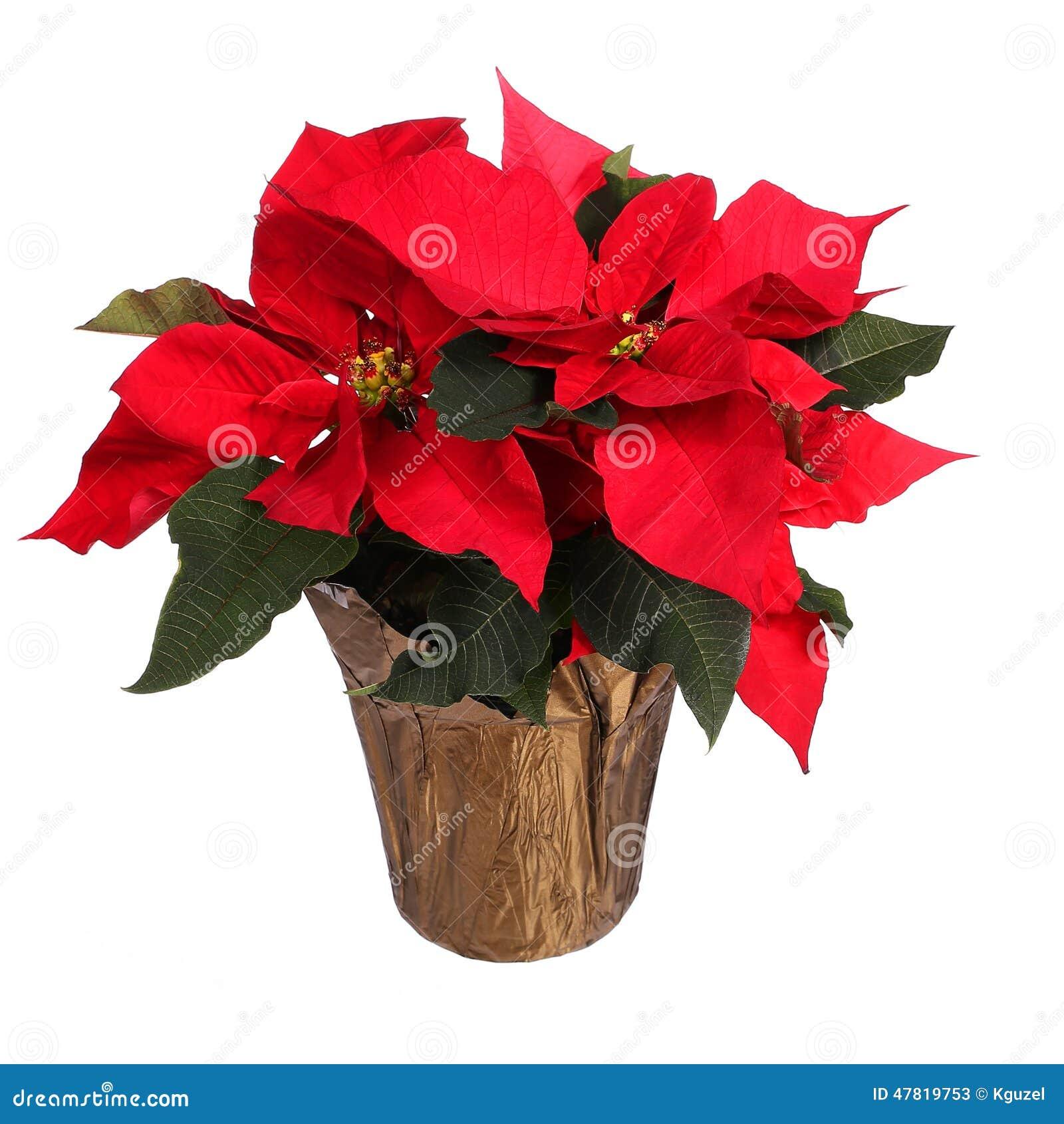 BON MARDI  B_1_q_0_p_0.jpg?u=https%3A%2F%2Fthumbs.dreamstime.com%2Fz%2Fred-poinsettia-flower-isolated-christmas-flowers-white-47819753