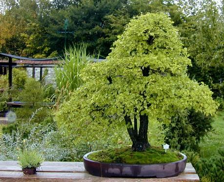 Bonsaï Création | Fiche d'entretien du Chêne (Quercus)