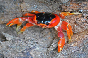 Crabe Touloulou • Belle Martinique