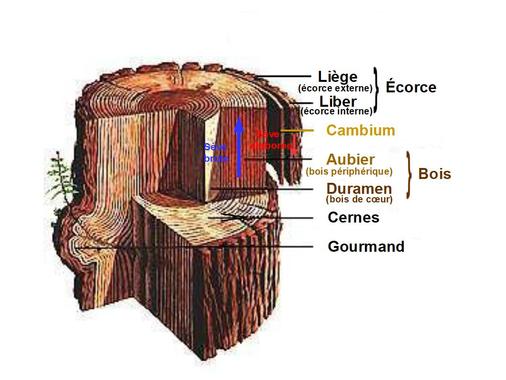 File:Section du tronc d'un arbre.jpg - Wikimedia Commons