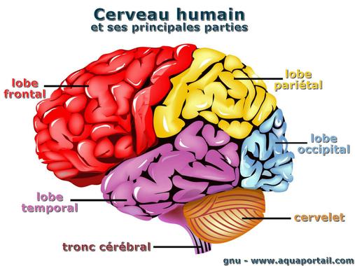 Cerveau: définition et explications