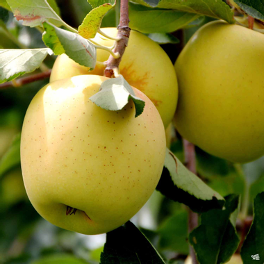 Apple 'Golden Delicious' — Green Acres Nursery & Supply