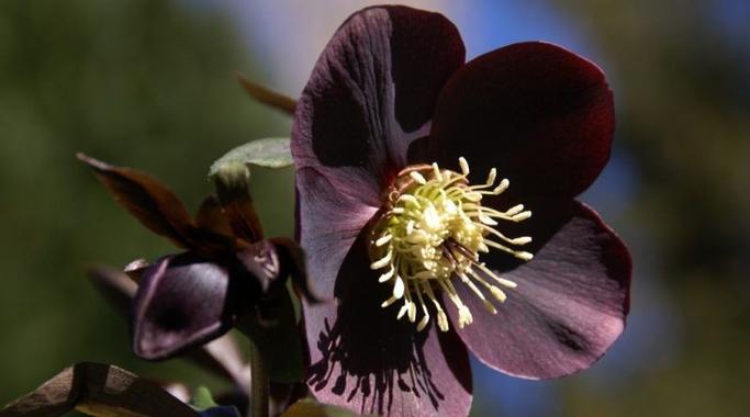 L'hellébore noir en phytothérapie - Therapeutes magazine