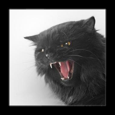 Poster Colère noire chat persan sur fond blanc • Pixers ...