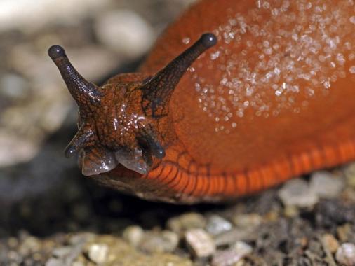 Un Australien ingère une limace et devient paralysé ...