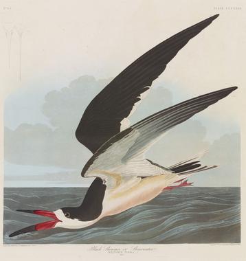 Audubon and the Art of Birds | Metroframe's Blog